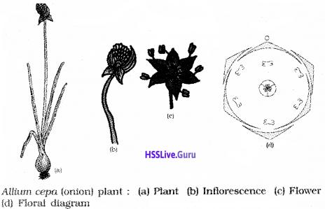 Plus One Botany Notes Chapter 3 Morphology of Flowering Plants 24