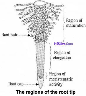 Plus One Botany Notes Chapter 3 Morphology of Flowering Plants 3