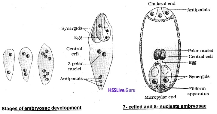 Plus Two Botany Notes Chapter 2 Sexual Reproduction in Flowering Plants 6