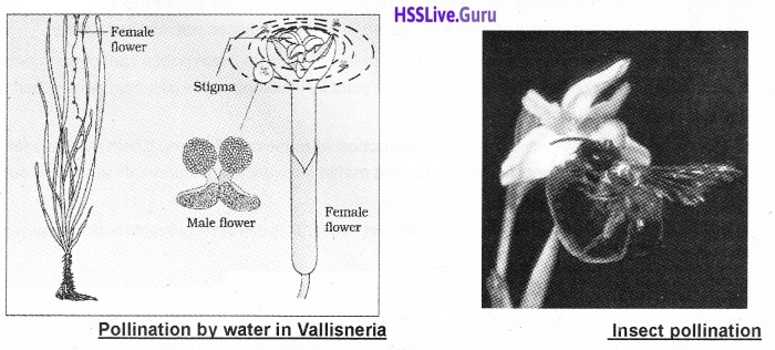 Plus Two Botany Notes Chapter 2 Sexual Reproduction in Flowering Plants 9