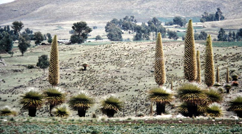 Puya de Raymondi en Vilcashuaman Ayacucho