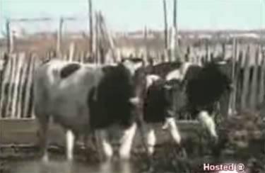 vacas cachonda