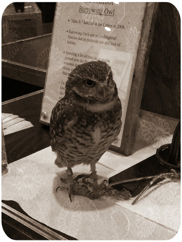 effected picture of burrowing owl