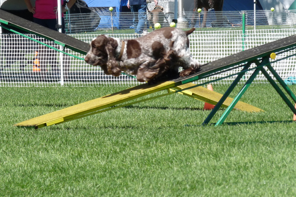 picture of dog on obstacle course
