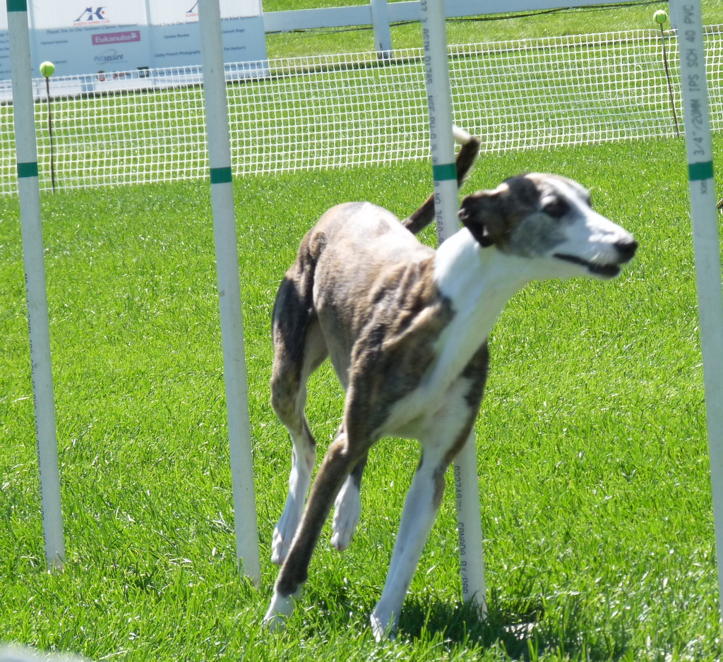 picture of whippet dog