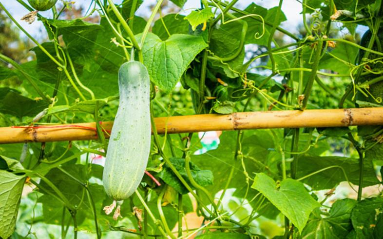 cultivo pepinos en huerto