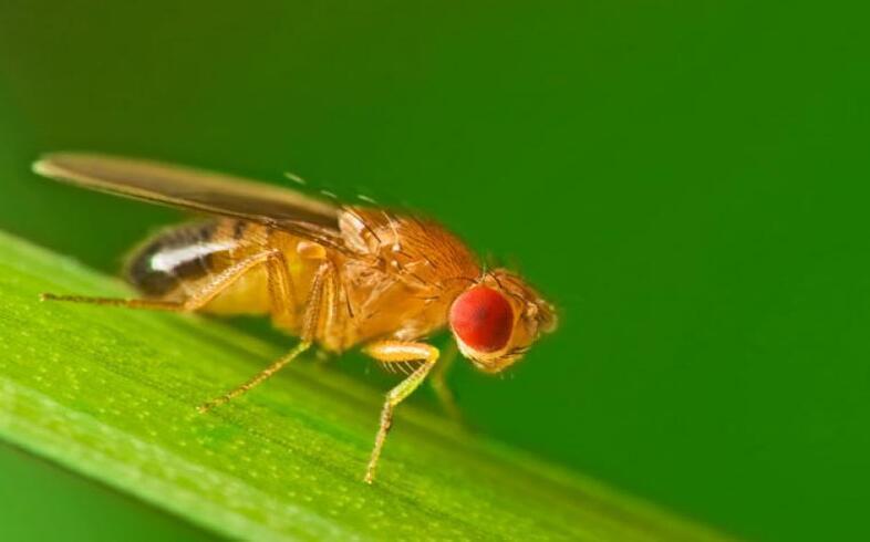 mosca de la fruta en el huerto