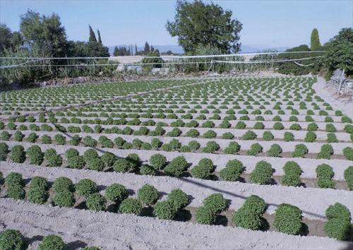 Plantación de albahaca en Huesca