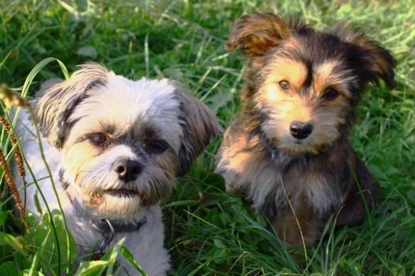 Zwei süße, kleine Hunde2128