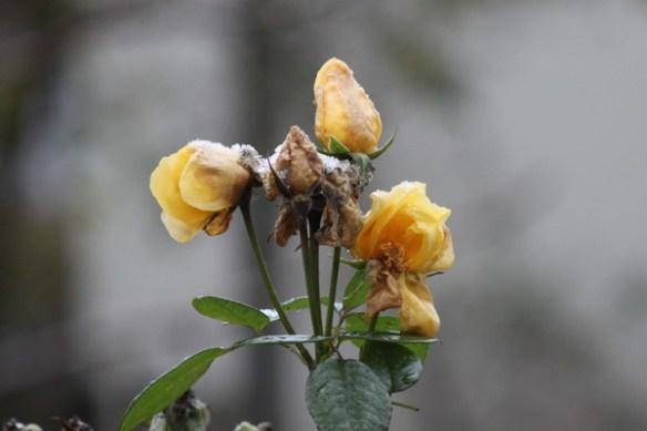 Erster Schnee auf gelber Rose 2674