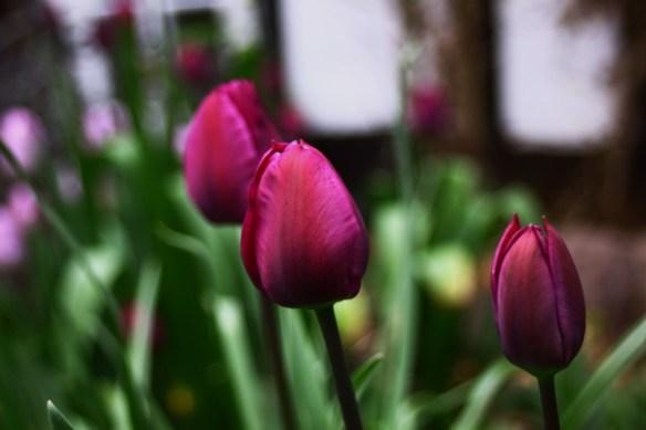 Noch mehr lila Tulpen 6