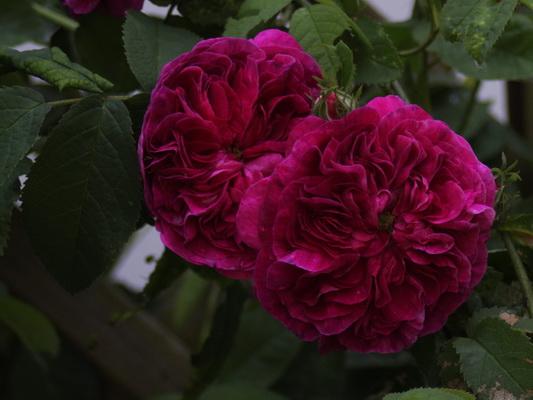Noch mehr Rosen_3968