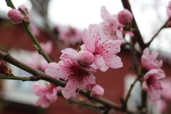 Voll geöffnete Pfirsischblüte