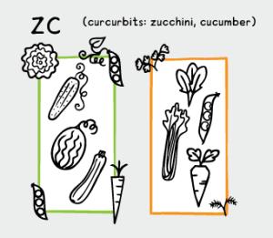 zucchini, cucumber, melon, celery, broadbeans, parsnips