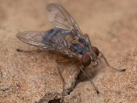 Cordylobia anthropophaga maden (klik op foto voor vergroting) [bron: onbekend, internet]