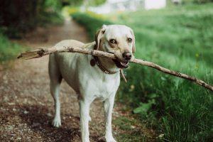 Leuke witte hond met tak