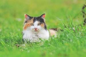 Gevlekte kat ligt in het gras