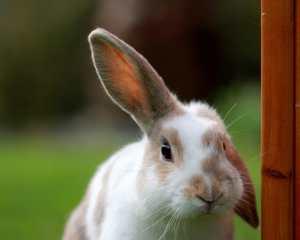 hangoorkonijn met een oor omhoog