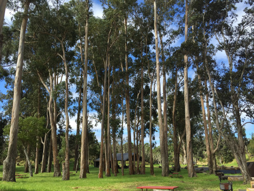 Eucalyptus-grove-remains-intact-at-pavilion