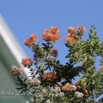 ハワイ島フォト日記 Lehuaの花が3色 揃い踏みだよ!!!