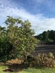 ハワイ島フォト日記 どうした?オヒアの木が・・! 月下美人が?