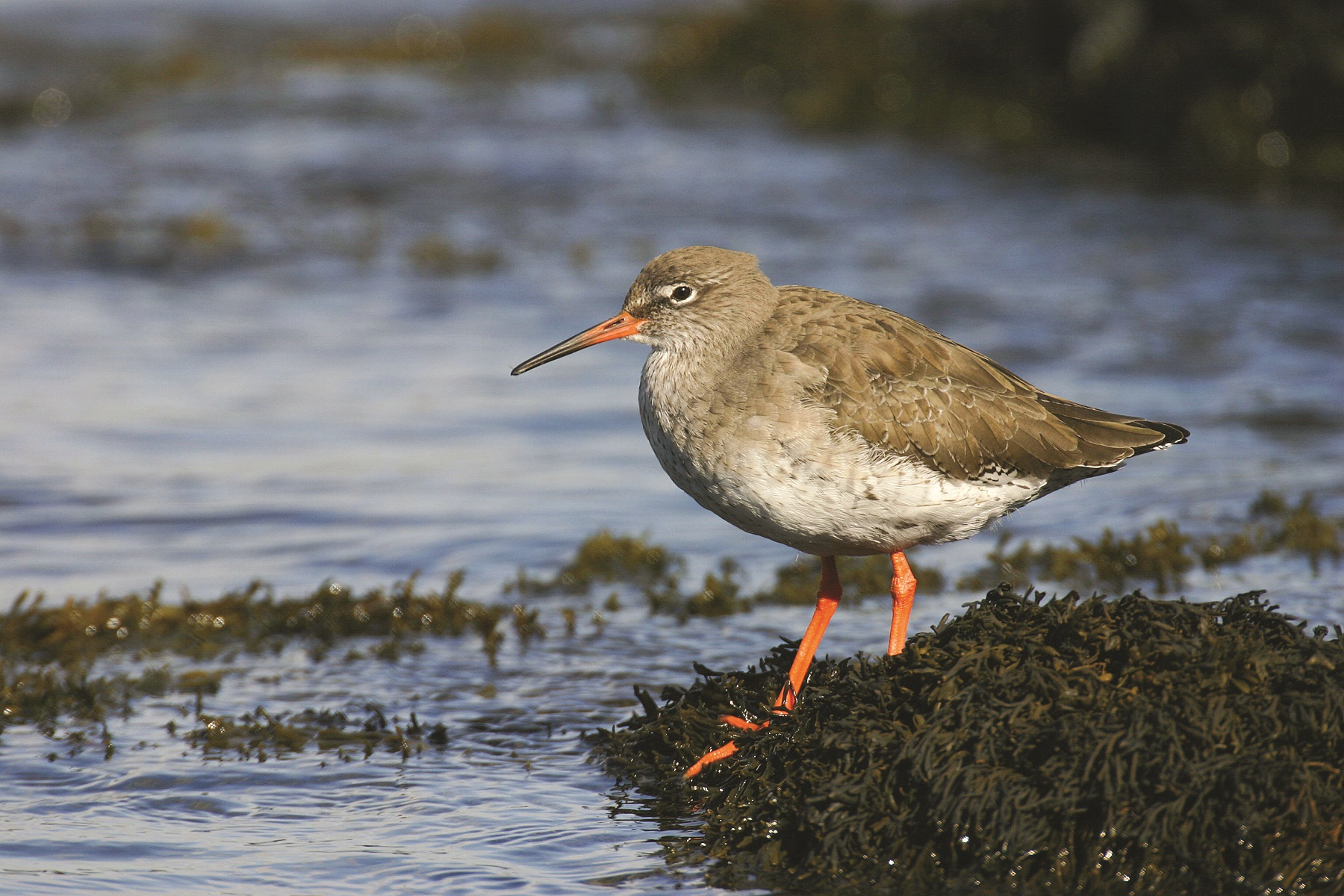 A redshank. Picture Tom Marshall