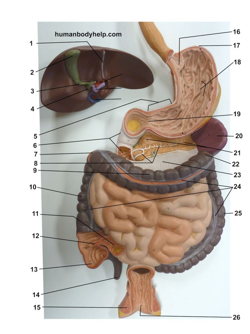 Digestive System Lower - Human Body Help