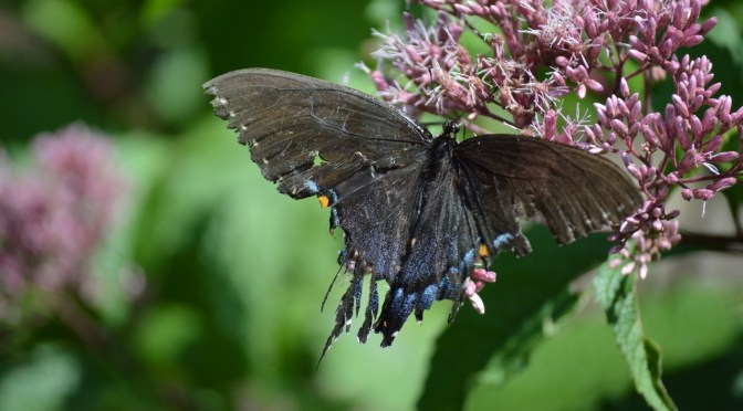 The Beauty of Tattered Wings - Humane Gardener
