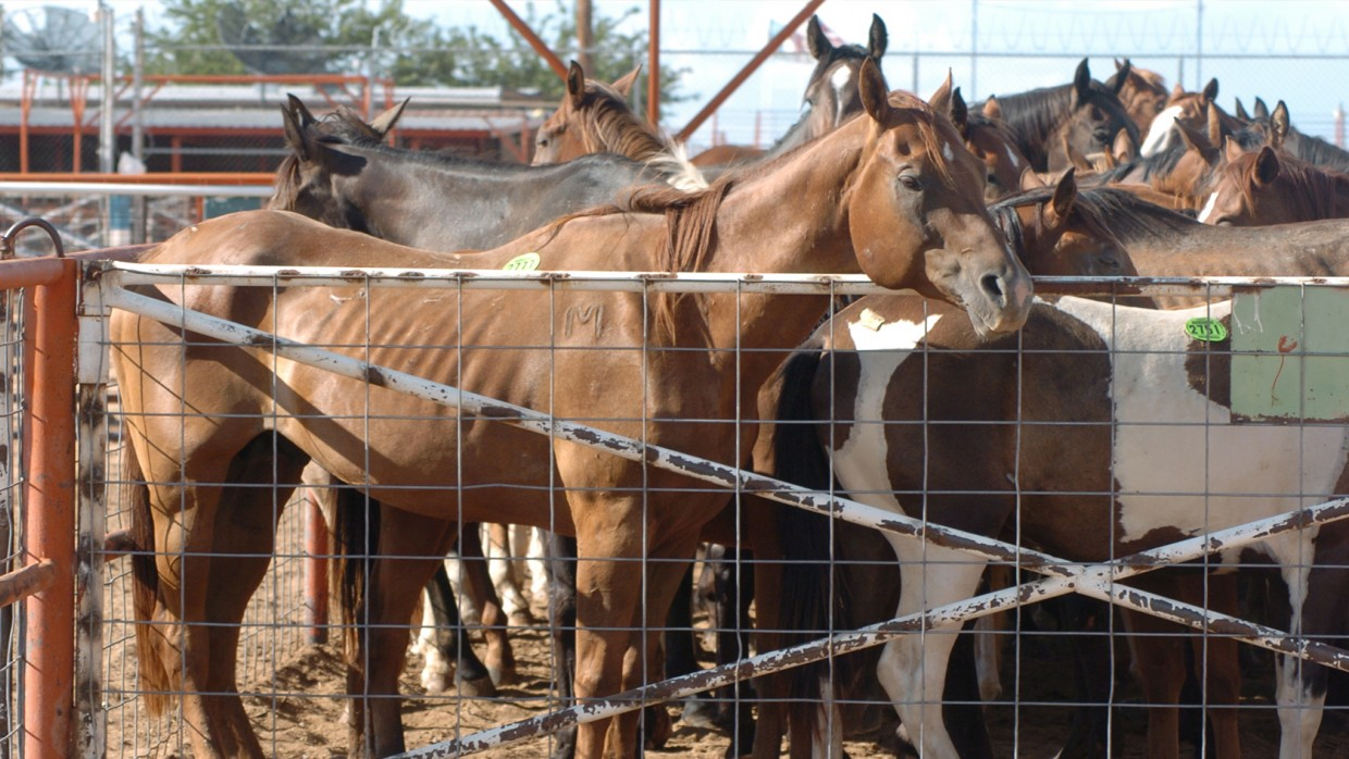 The Facts About Horse Slaughter The Humane Society Of The United States