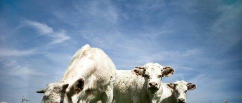 Les broutards, ces jeunes bovins d'une dizaine de mois, dont les naissances atteignent 4 millions de têtes en France tous les ans. Photo : Jeff Pachoud/AFP