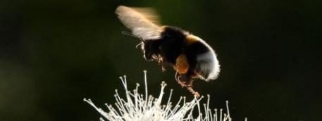 Le bourdon, insecte pollinisateur, est menacé par un pesticide néonicotinoïde. Photo : Yuri Kadobnov/AFP