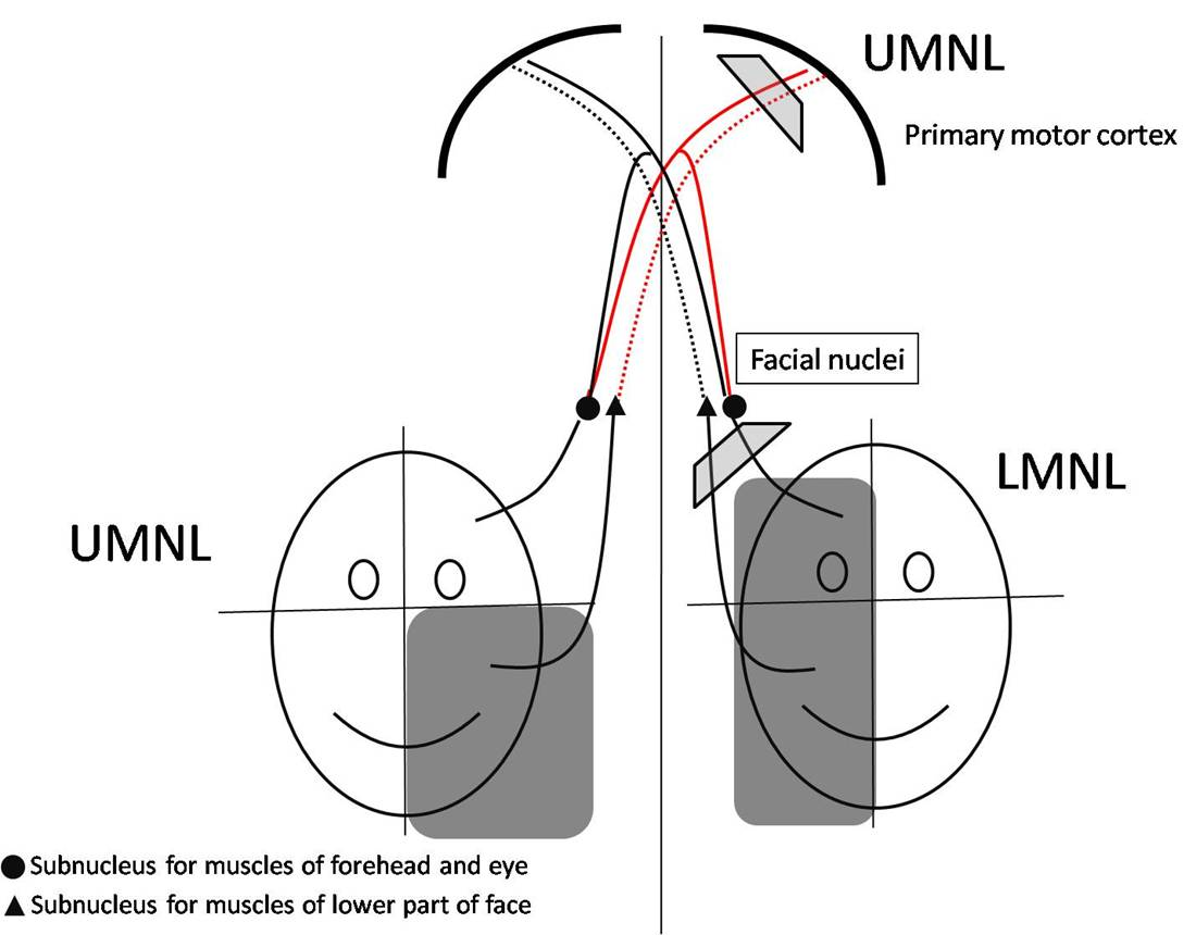 Motor Innervation Of The Face