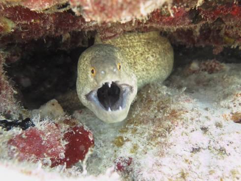 Hawaiian Vacation Eel Closeup