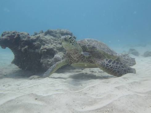 Hawaiian Vacation Sea Turtle Closeup - Scuba Diving
