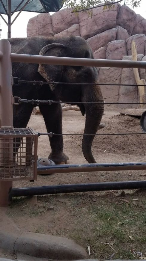 elephant at el paso zoo 2