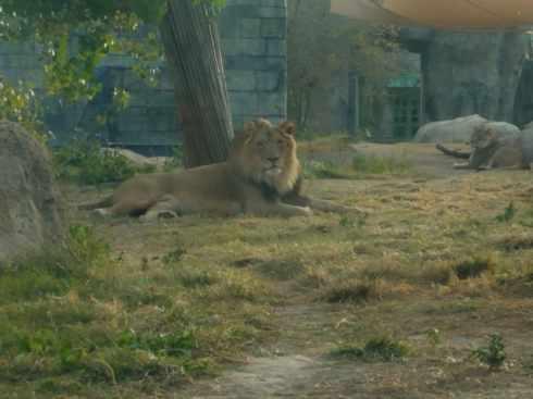 lions at el paso zoo 5