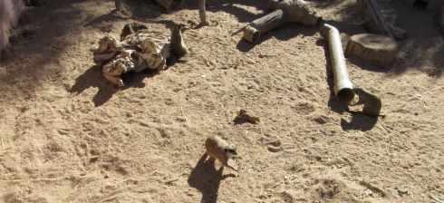 meerkat el paso zoo 2