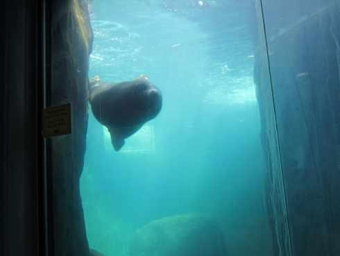 sea lion at el paso zoo 1