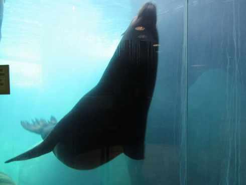 sea lion at el paso zoo 3