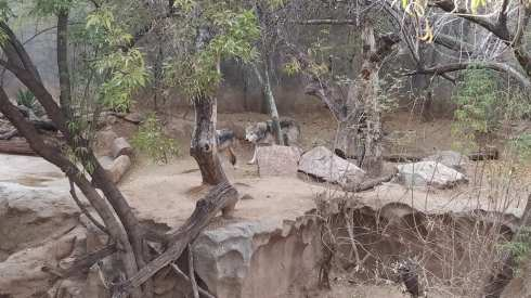wolves el paso zoo 3