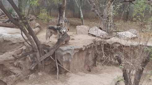 wolves el paso zoo 4