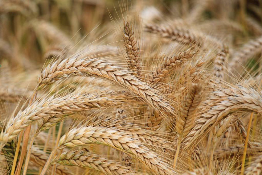 Observation on the Application Effect of Potassium Humate on Wheat.
