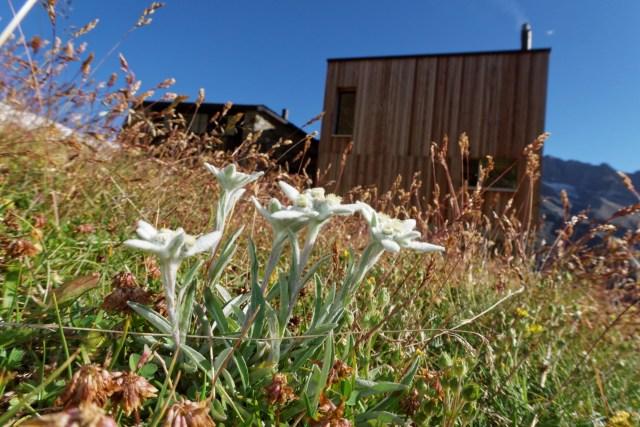 Edelweiss gleich neben der Hütte
