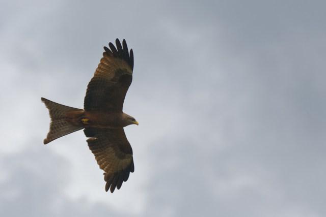 Hübscher Greifvogel, weiss aber nicht wie er heisst