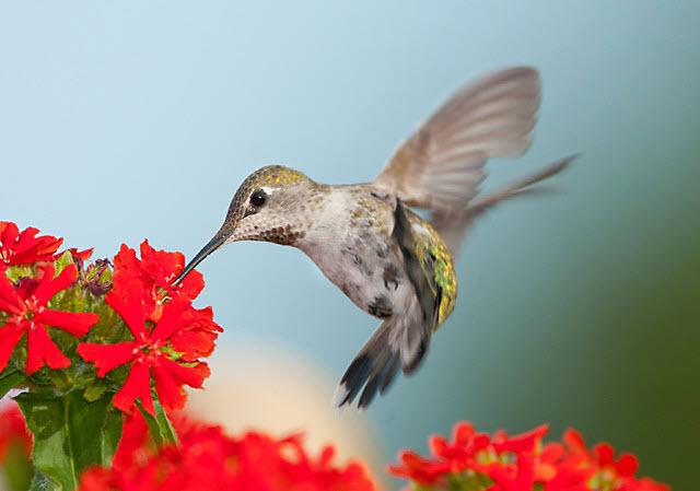 Top 10 Best Hummingbird Flowers For Attracting Birds 2021 Hummingbirds Plus