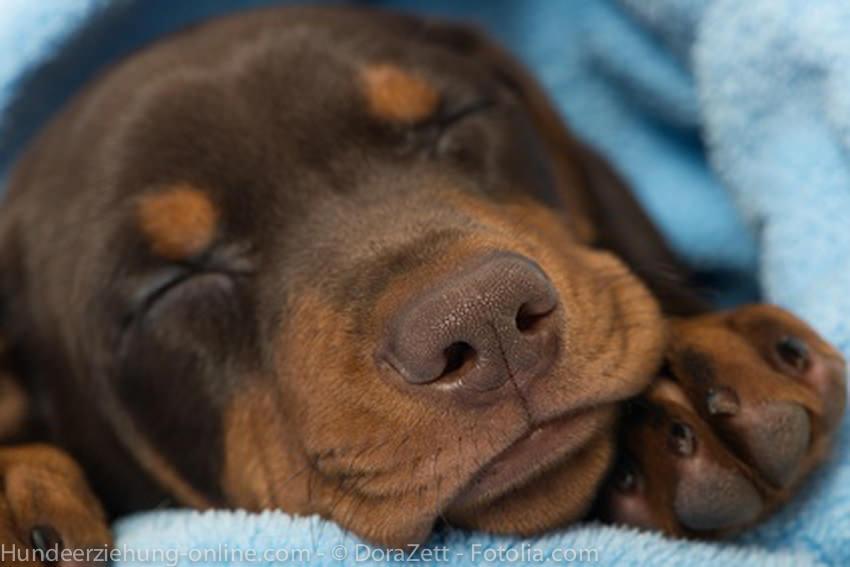 Ruhebedürfnis Wie Viel Schlaf Braucht Der Hund