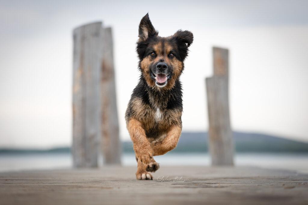 Rennender Hund auf Steg