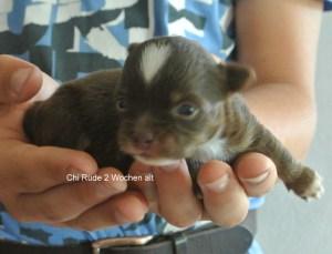Chihuahua Sierra Madre Rüde geb. 30.05.2014, 2 Wochen alt