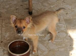 Torro ist sehr freundlich, zutraulich, folgsam, geimpft, hat Chip, EU Pass und Stammbaum-abzuholen.