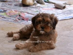 Cavalier-Havaneser, 10 Wochen alt, Dorian ist frei, hat Chip, EU Pass ,geimpft, entwurmt, fertig zur Abgabe
